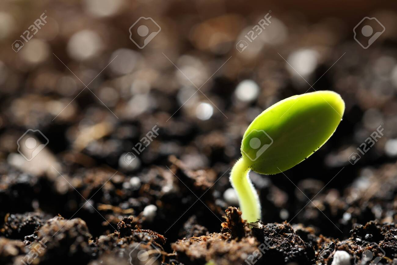 Little green seedling growing in soil, closeup. Space for text - 142499679