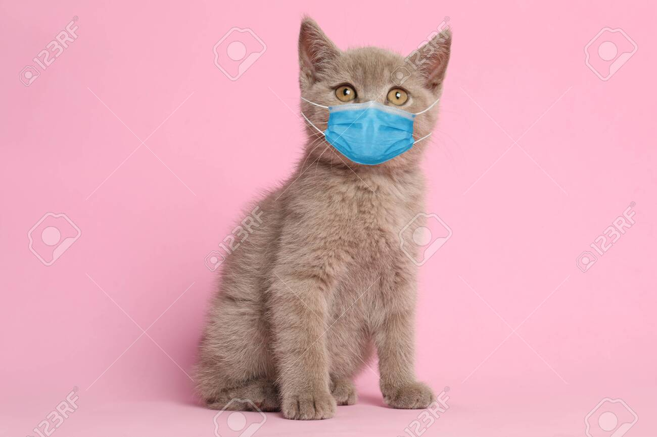 Scottish straight baby cat in medical mask on pink background. Virus protection for animal - 153383243