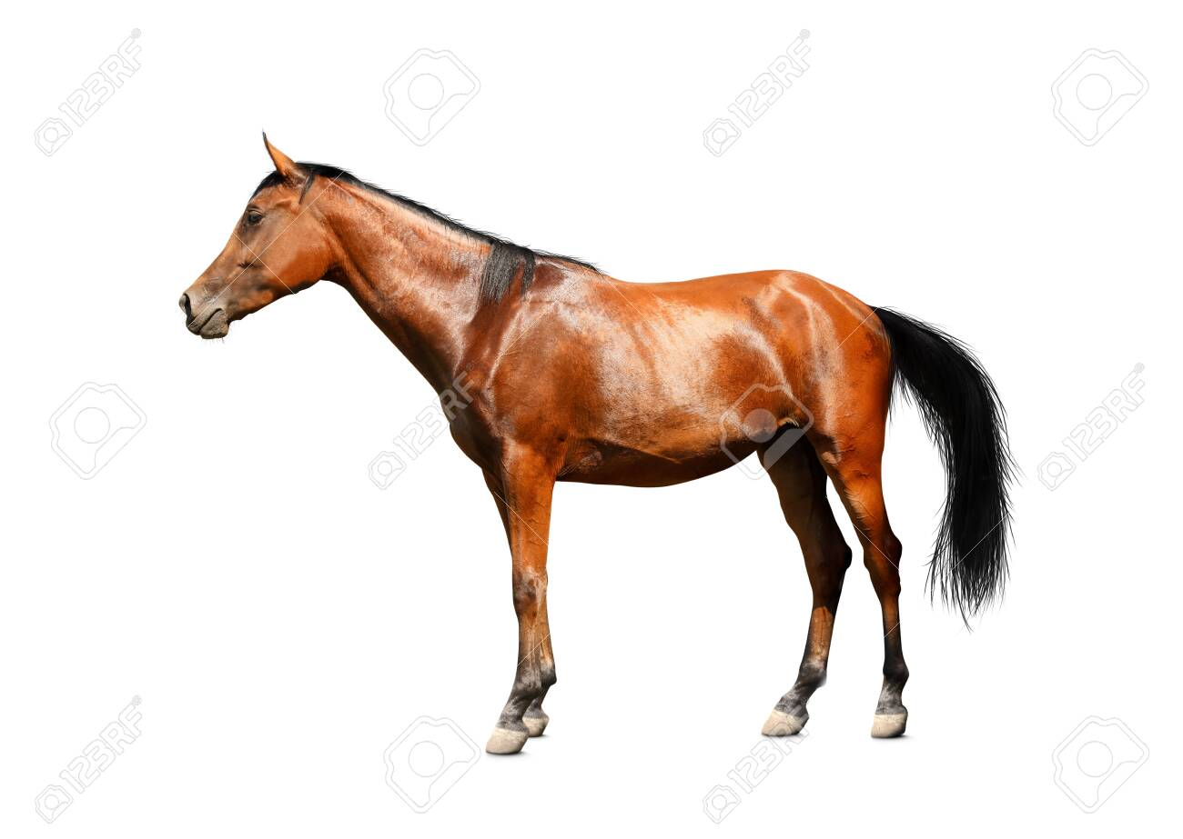 Bay horse standing on white background. Beautiful pet - 153383474