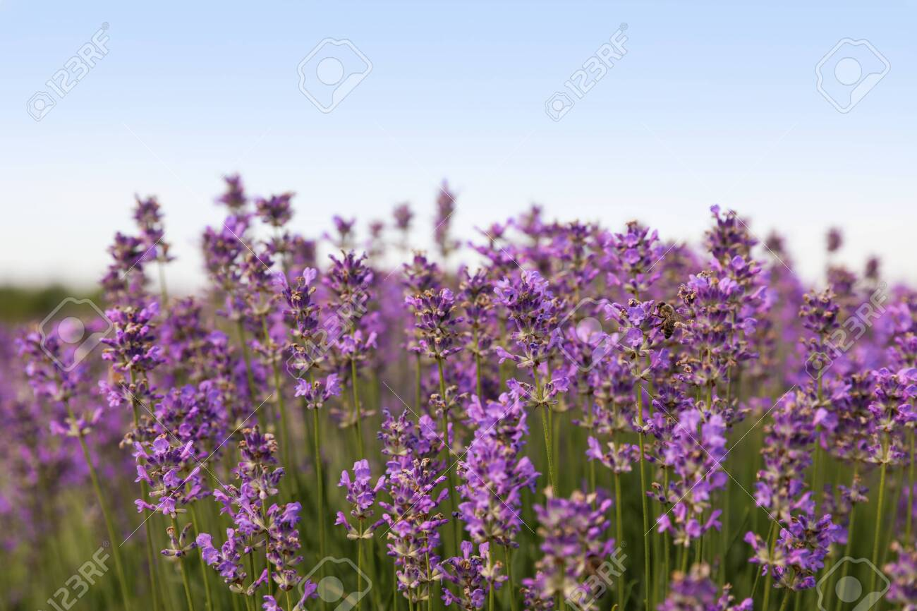 Beautiful blooming lavender field on summer day, closeup - 154230479