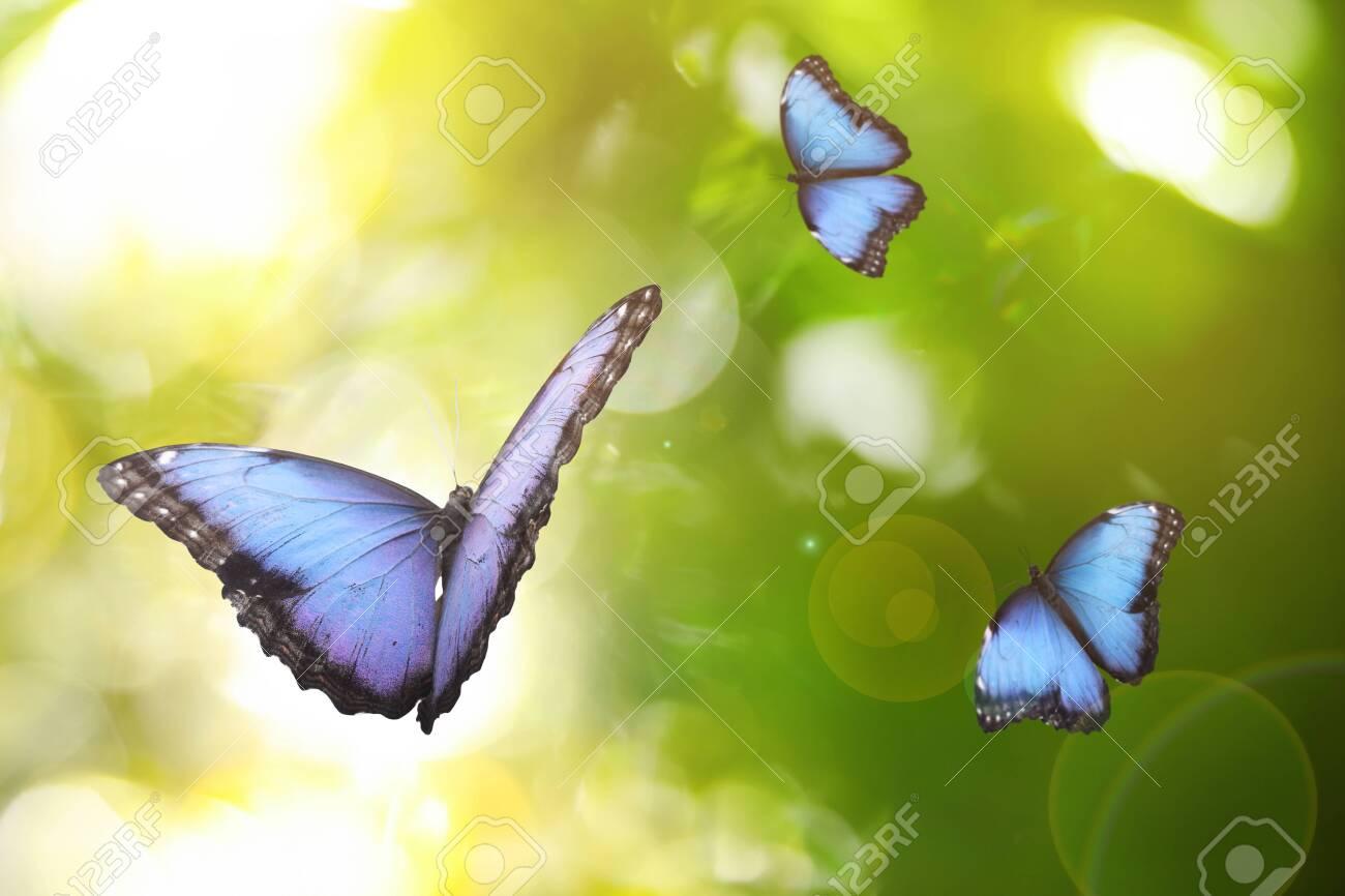 Beautiful common morpho butterflies flying in green garden - 154307619