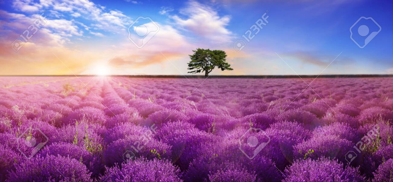 Beautiful lavender field with single tree under amazing sky at sunrise. Banner design - 156033900