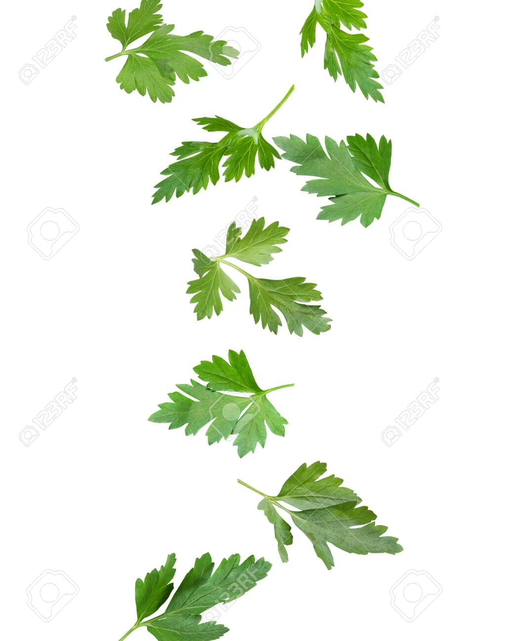 Green parsley leaves falling on white background - 156971827