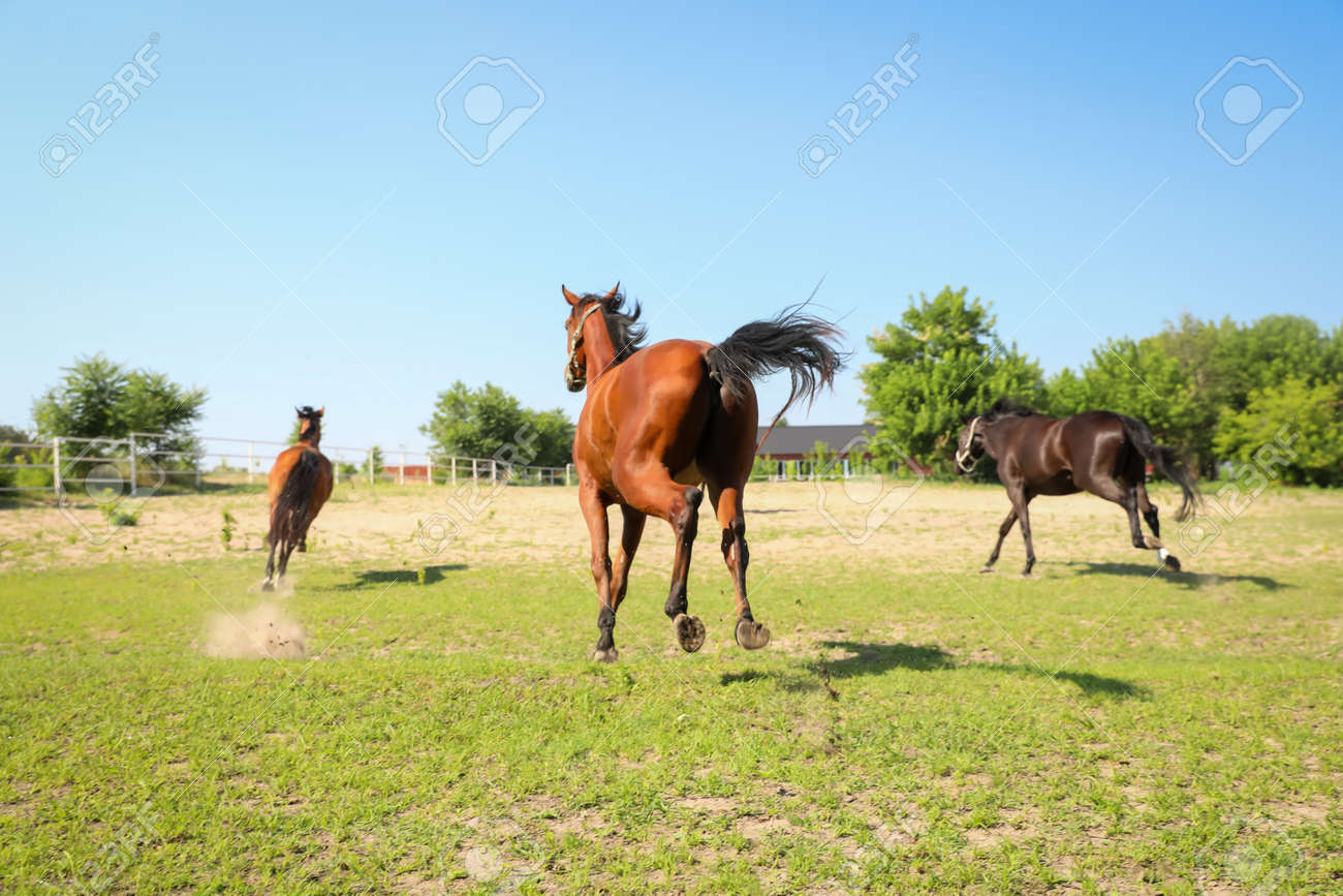Bay horses in paddock on sunny day. Beautiful pets - 159064648