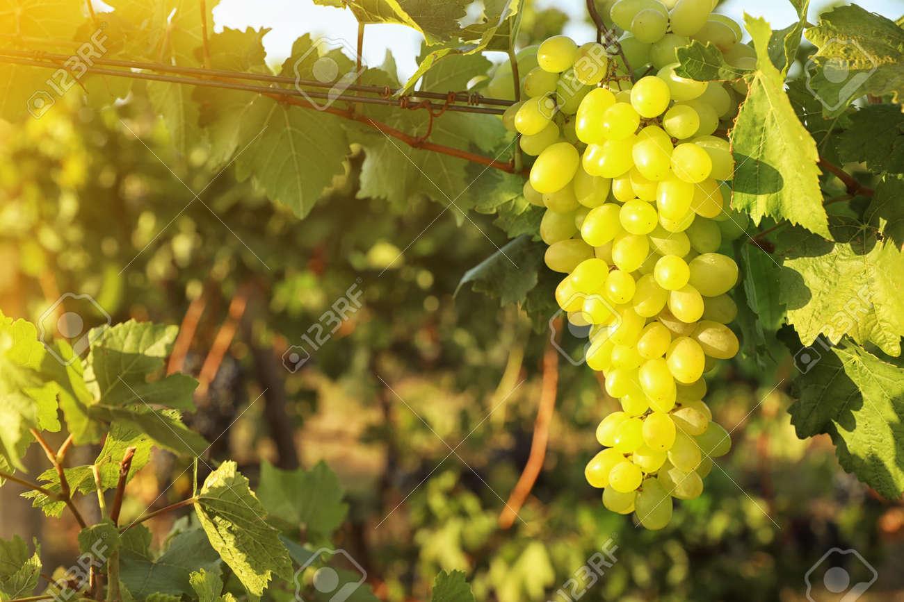 Delicious ripe grapes in vineyard. Harvest season - 159237509