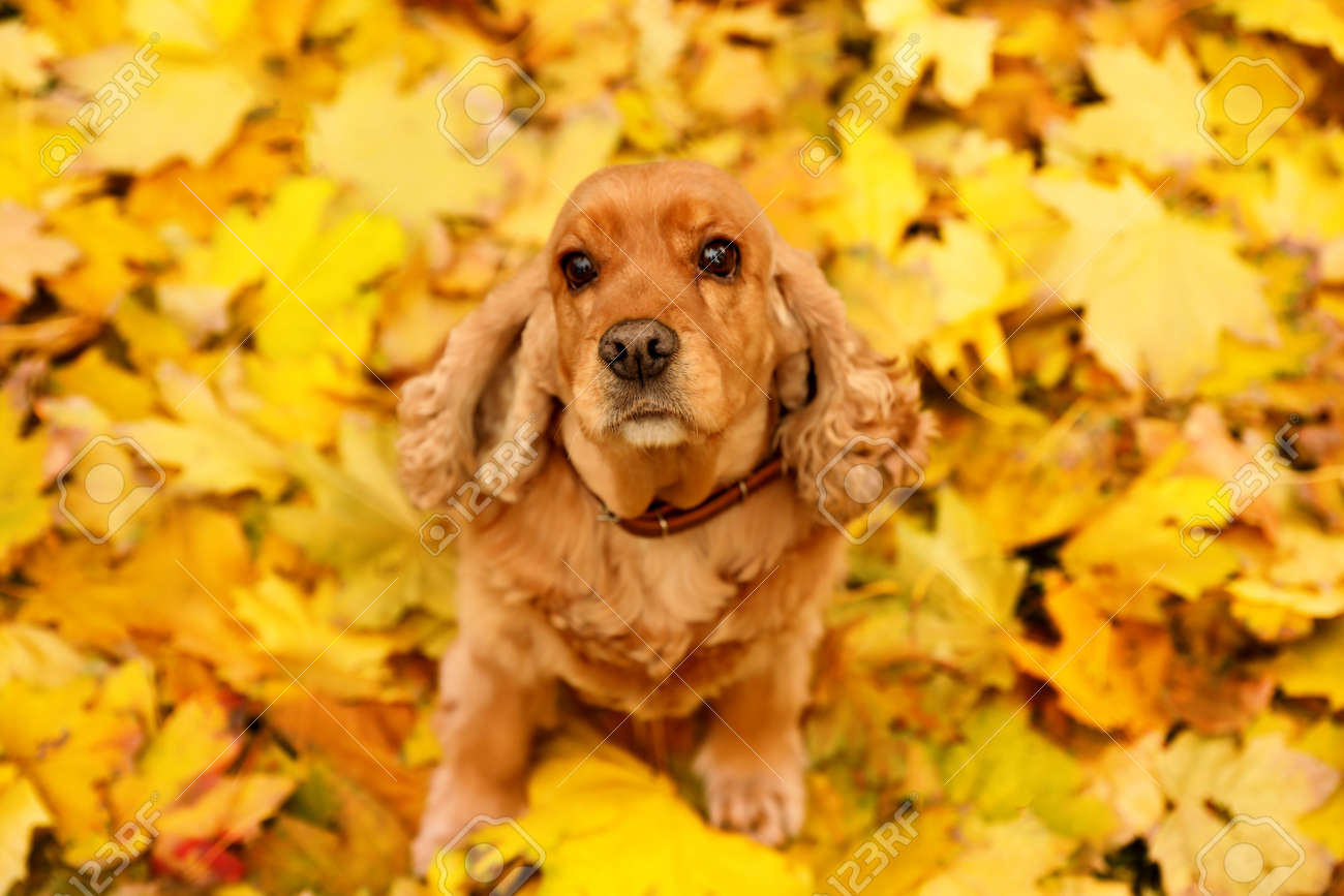 Cute Cocker Spaniel on colorful autumn leaves outdoors, above view - 159663053