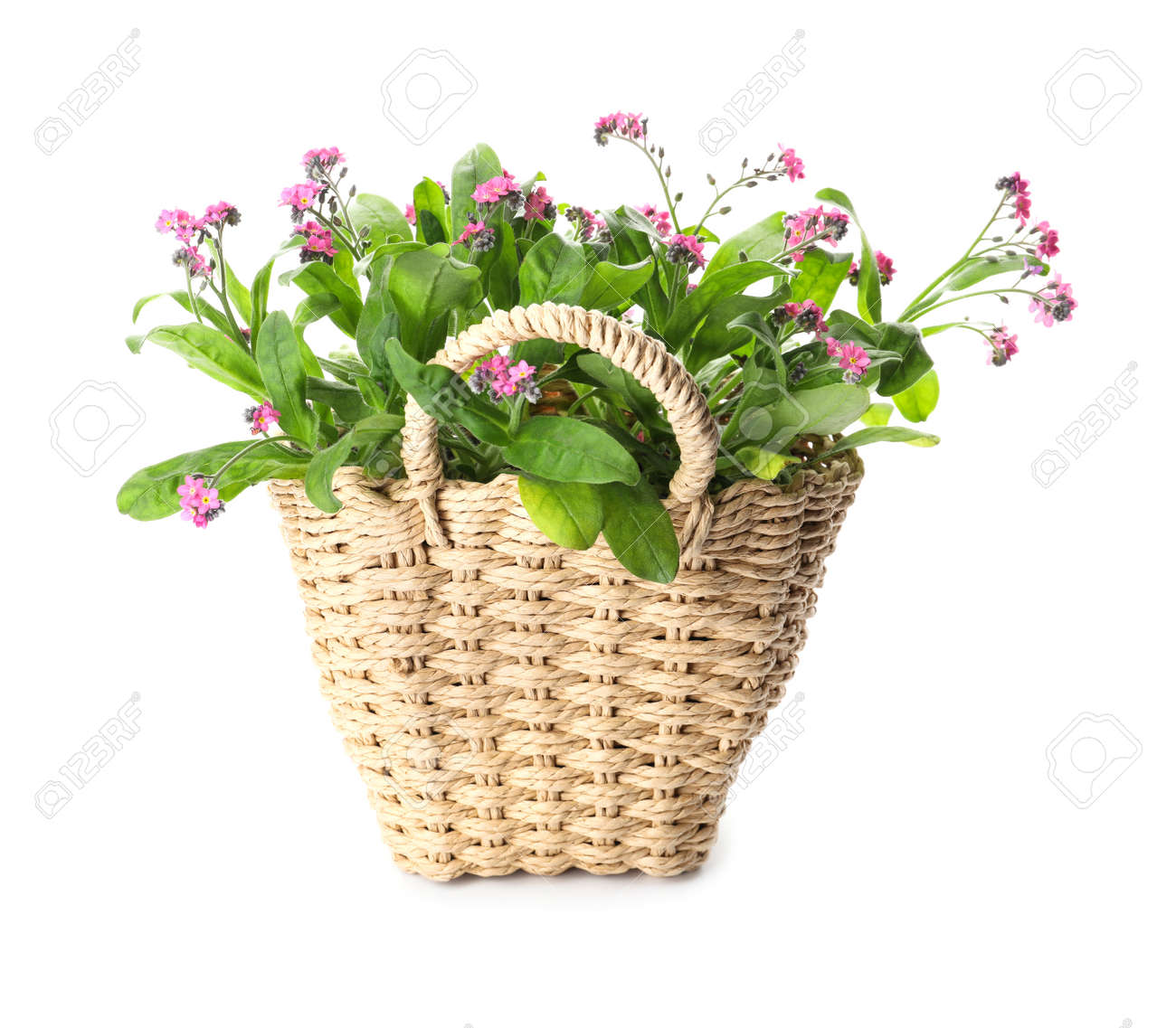 Beautiful potted Forget-me-not flowers in basket on white background - 167803432