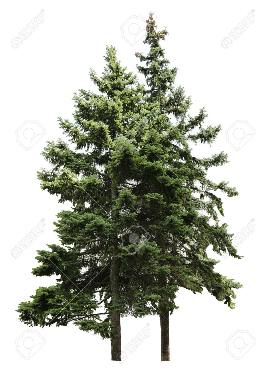 Beautiful evergreen fir trees on white background - 168987641