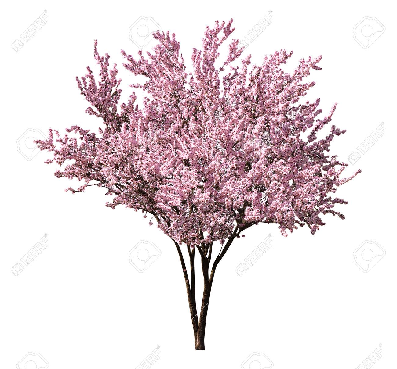 Beautiful blossoming sakura tree on white background - 169084389