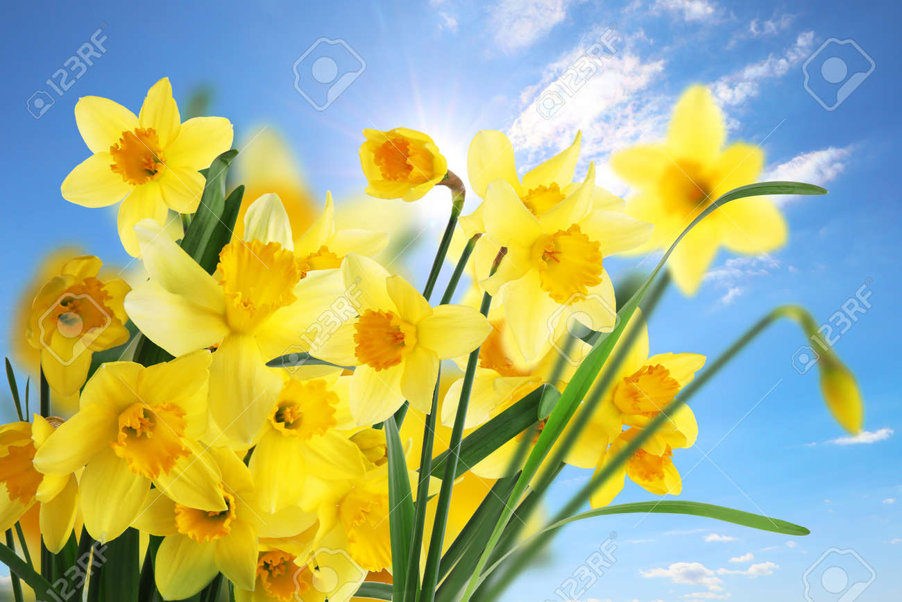 Beautiful yellow daffodils outdoors on sunny day - 169914788