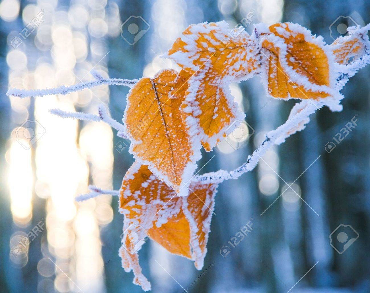 colorful leaves of the tree covered with snow - 11211555