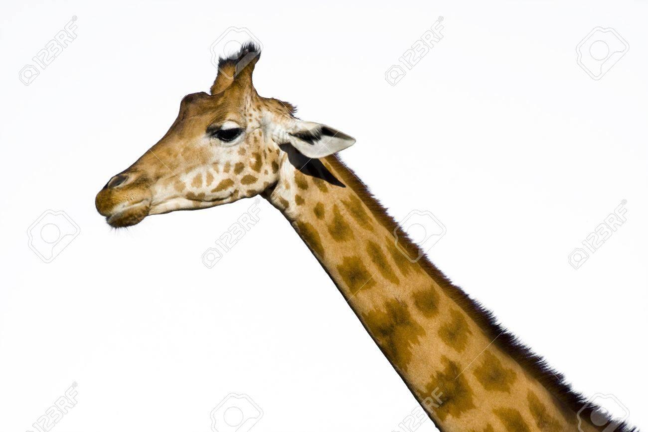 Giraffe  Giraffa camelopardalis Stock Photo - 18078978