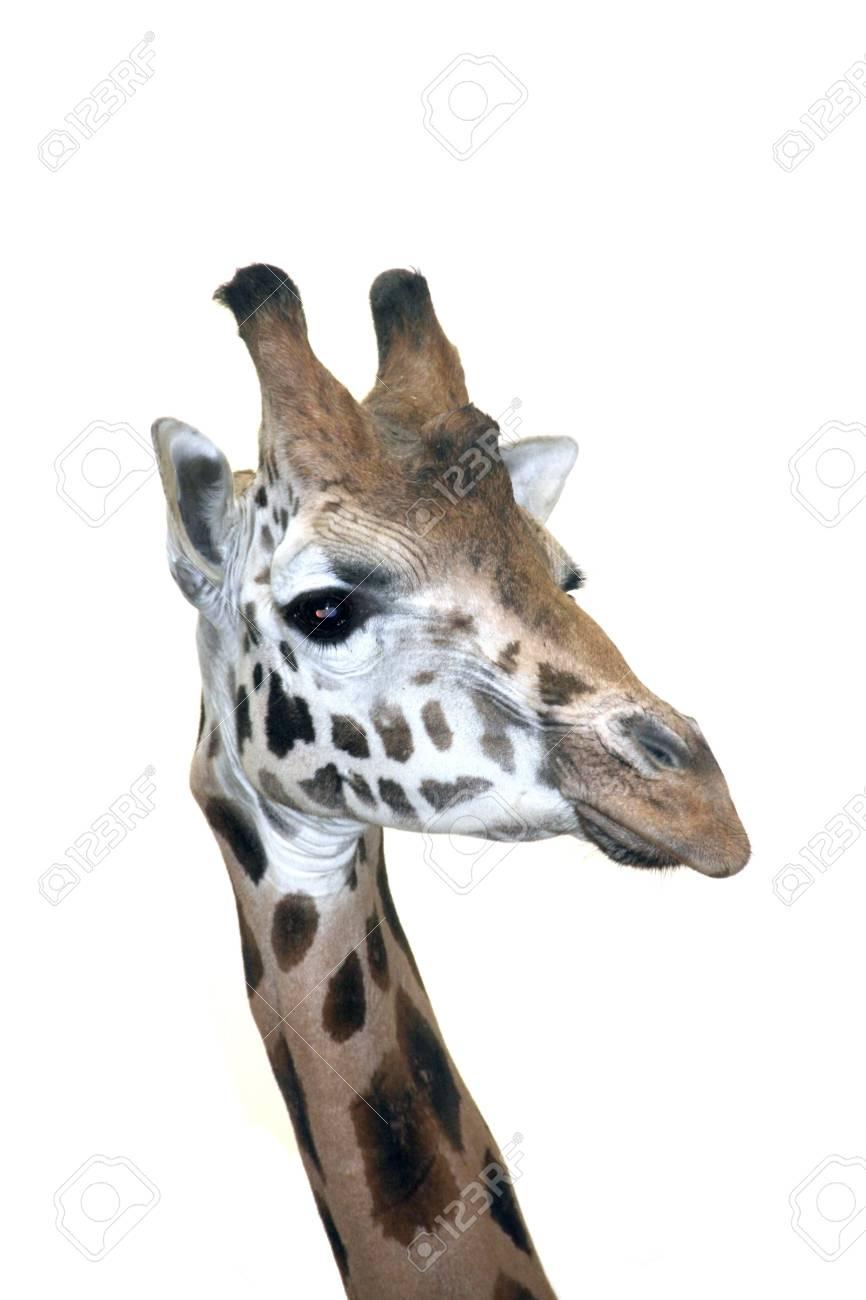 Head of a Rotschild giraffe  Giraffa camelopardalis rotschildi  isolated Stock Photo - 18078973