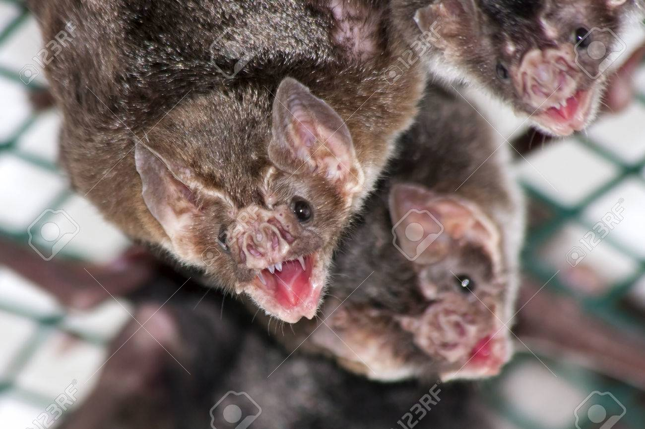 Common vampire bat  Desmodus rotundus  in a zoo Stock Photo - 22257030
