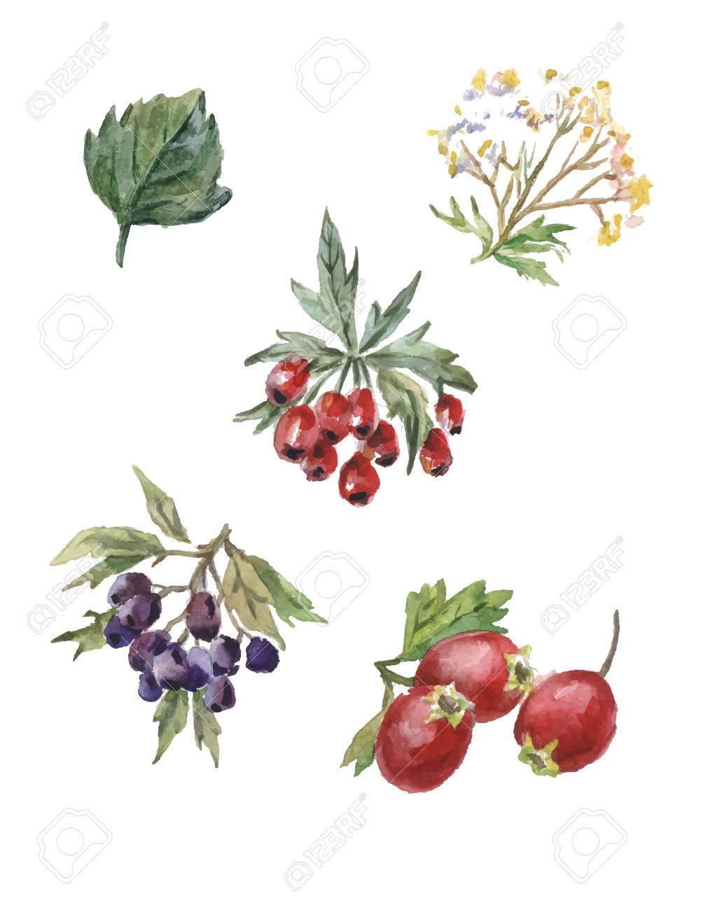 Hawthorn Berry Drawing