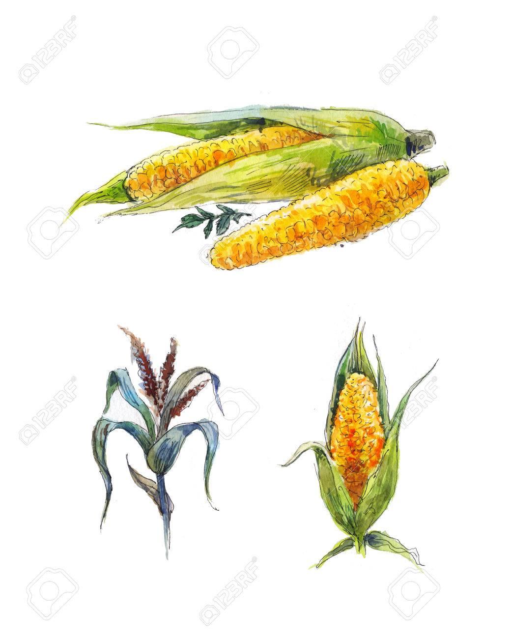 Mais Aquarellskizze, Gemüsemalerei, Isoliert Auf Weiß Lizenzfreie ...