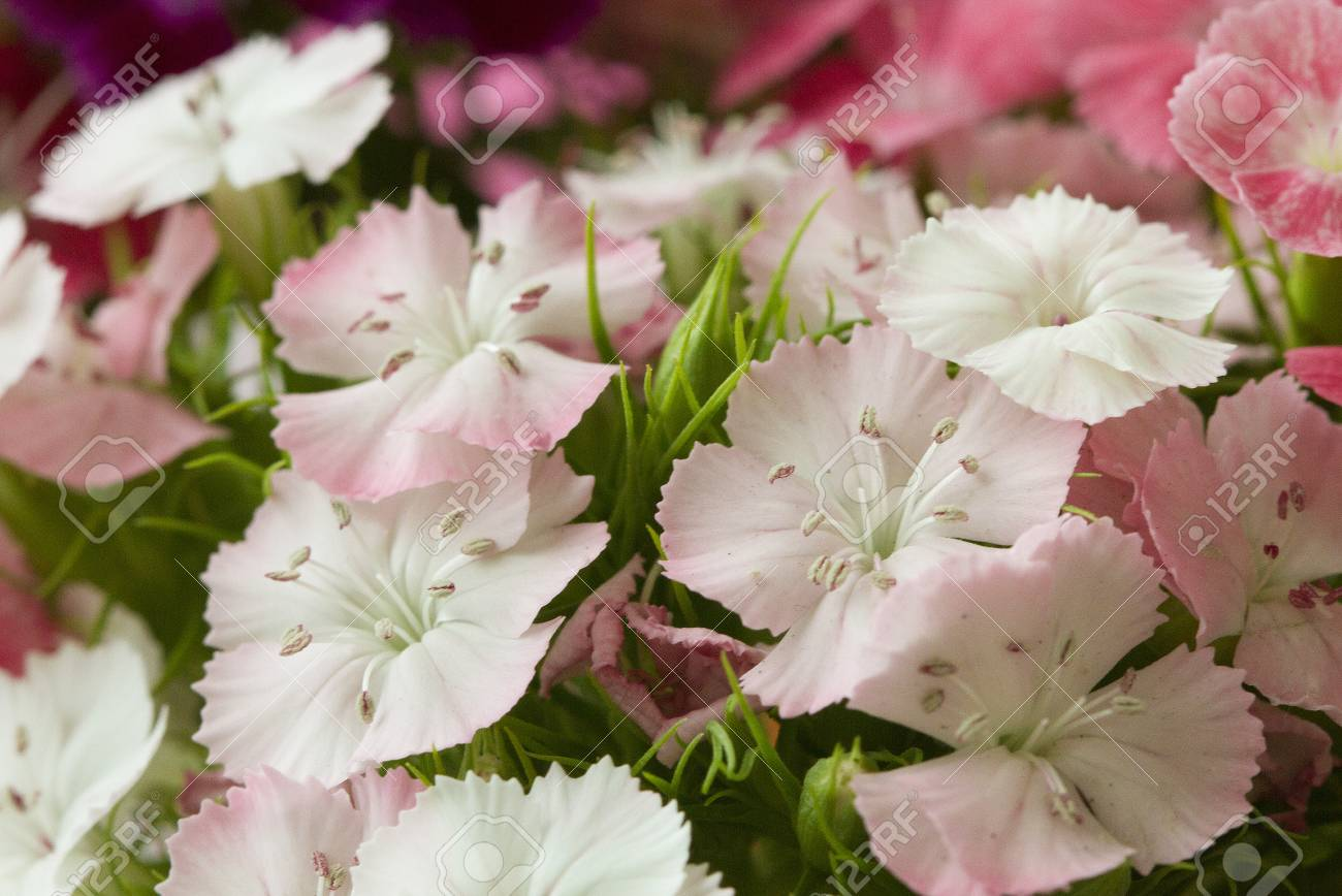 Pink and white sweet william like spring background outdoor stock pink and white sweet william like spring background outdoor stock photo 72734730 mightylinksfo