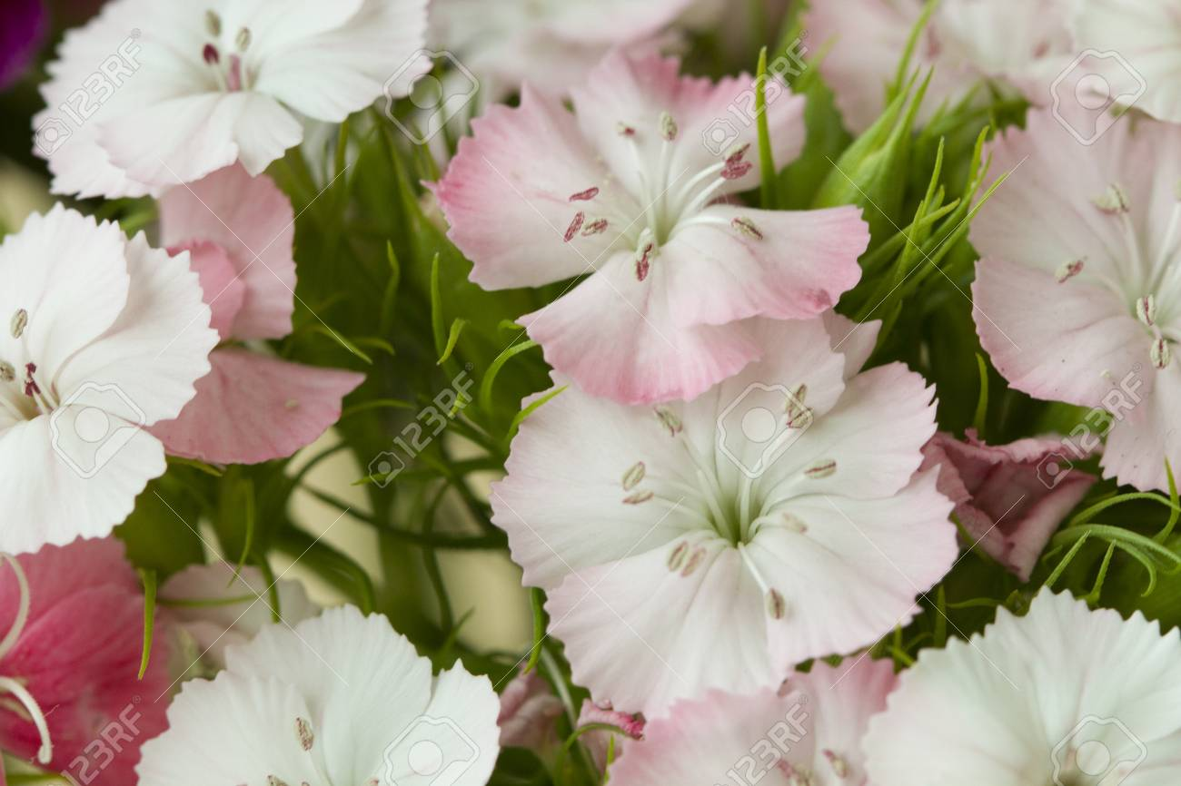 Pink And White Sweet William Like Spring Background Outdoor Stock