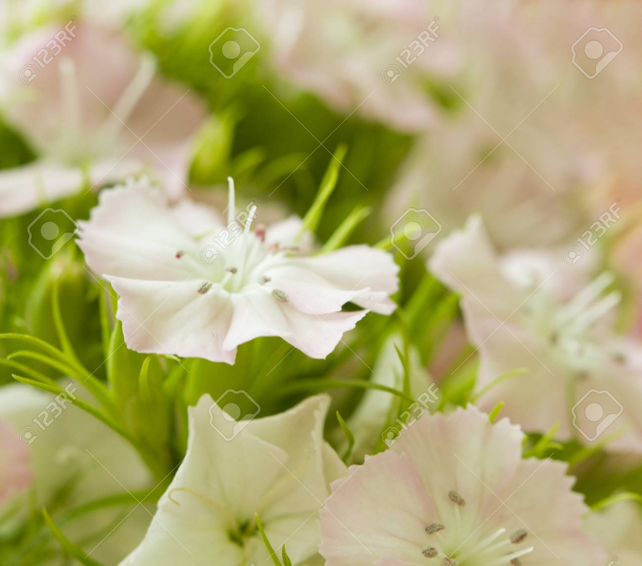 Pink and white sweet william like spring background outdoor stock pink and white sweet william like spring background outdoor blurred stock photo 72764232 mightylinksfo
