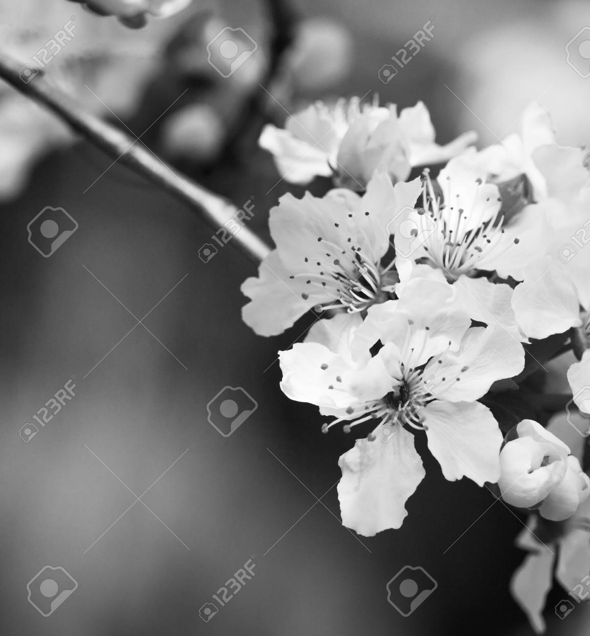 Apricot Tree Branch With White Flowers In Early Spring With Stock