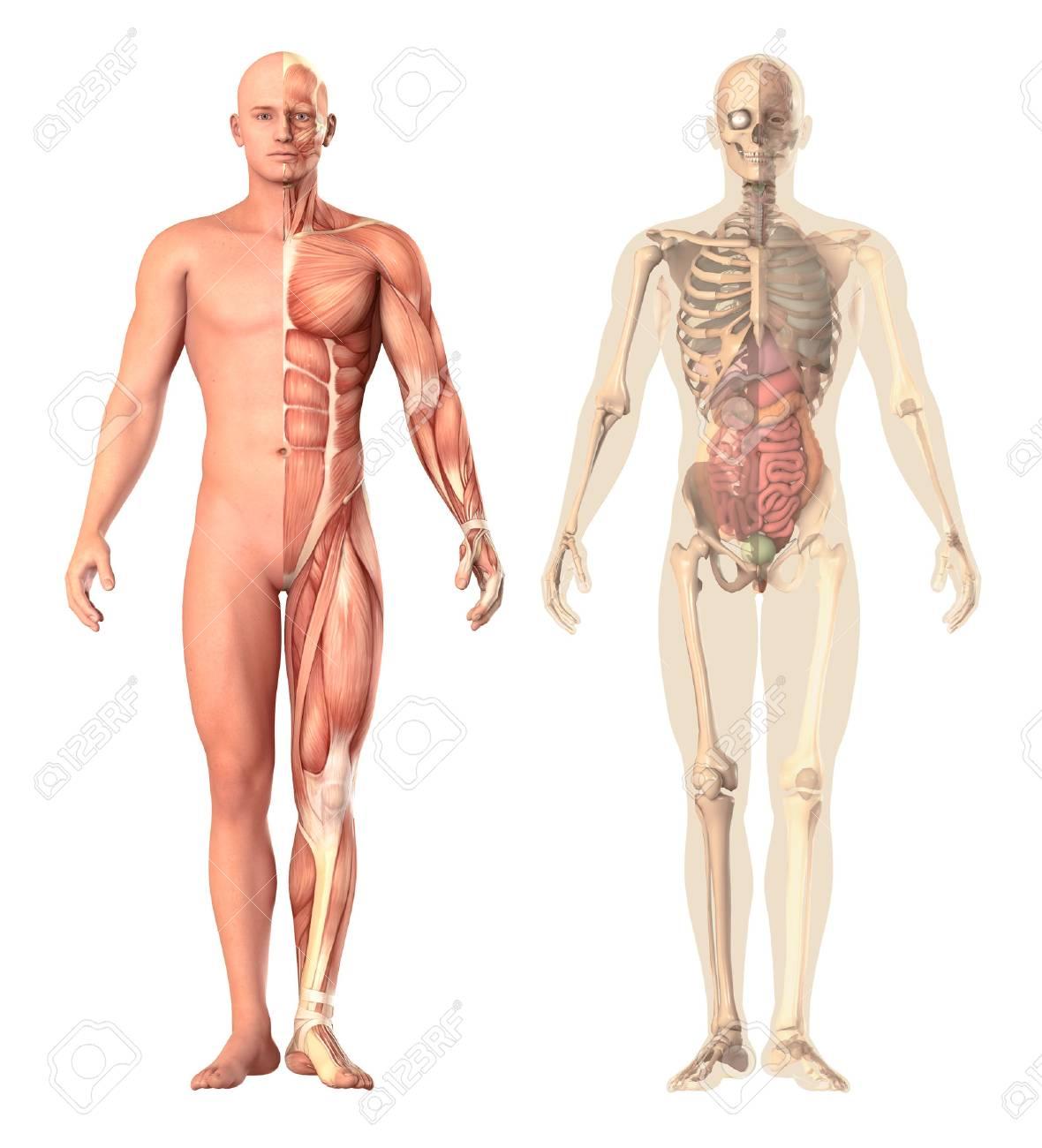 Ilustración Médica De Una Transparencia Anatomía Humana, Ver. El ...