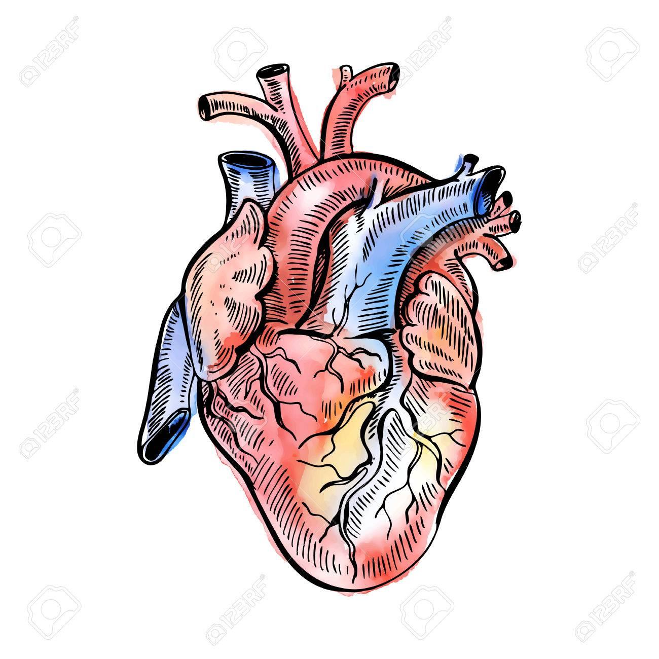 Hand Drawing Watercolor Sketch Anatomical Heart Royalty Free