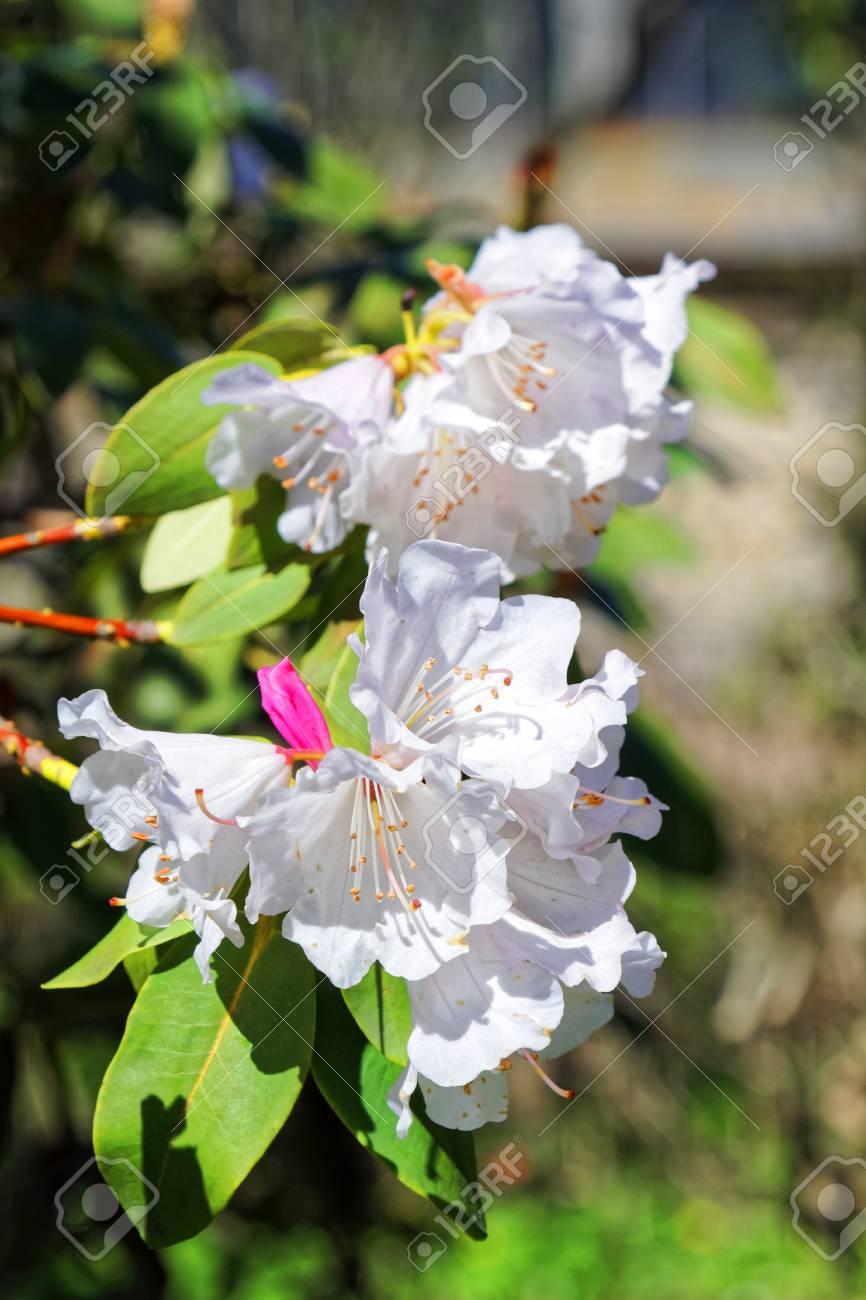 Flowers Of White Japanese Sakura Cherry Blossom Of Spring In