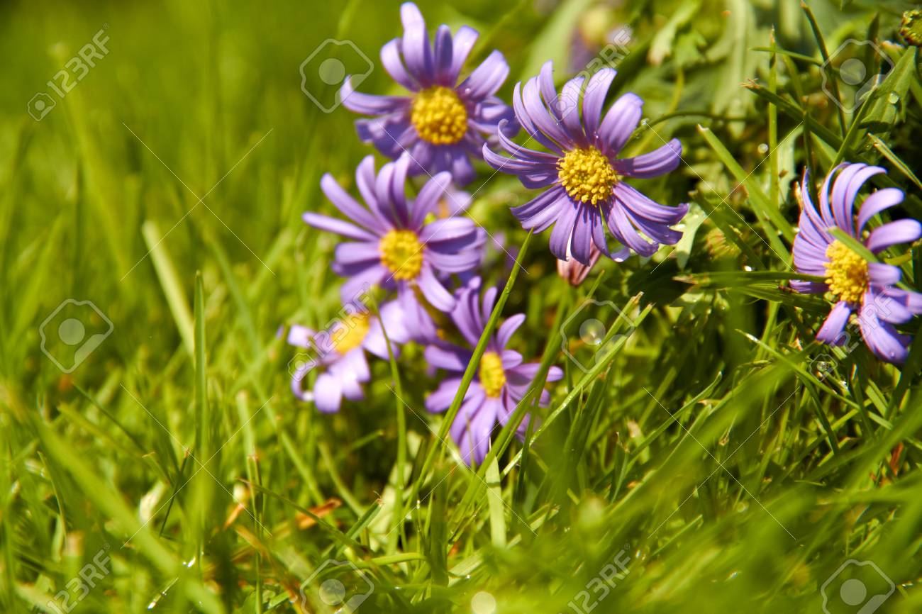 Purple Flowers Grow In The Green Grass Stock Photo Picture And