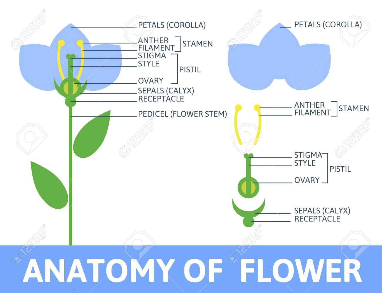 Infographics Anatomy Of A Flower. Structures In Cross Section ...