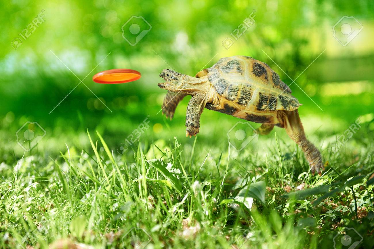 Turtle jumps and catches the flying disk - 22448105