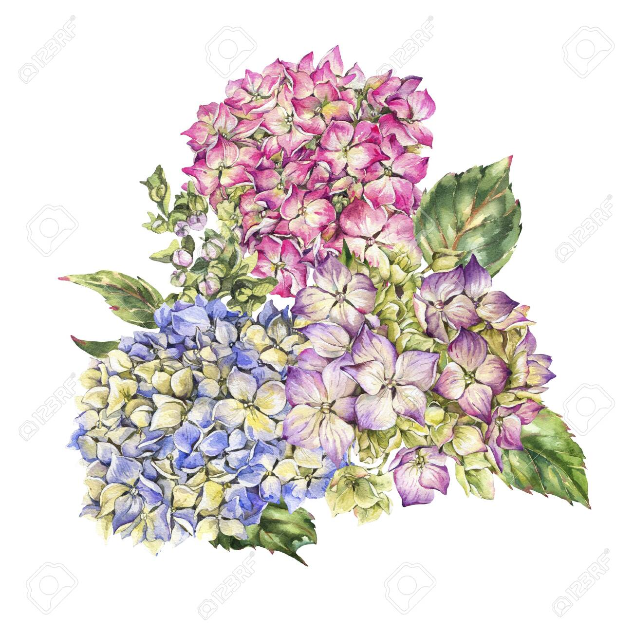 Watercolor blooming hydrangea greeting card, leaves, buds. Natural botanical floral collection isolated on white background, Summer Flowers - 131415362