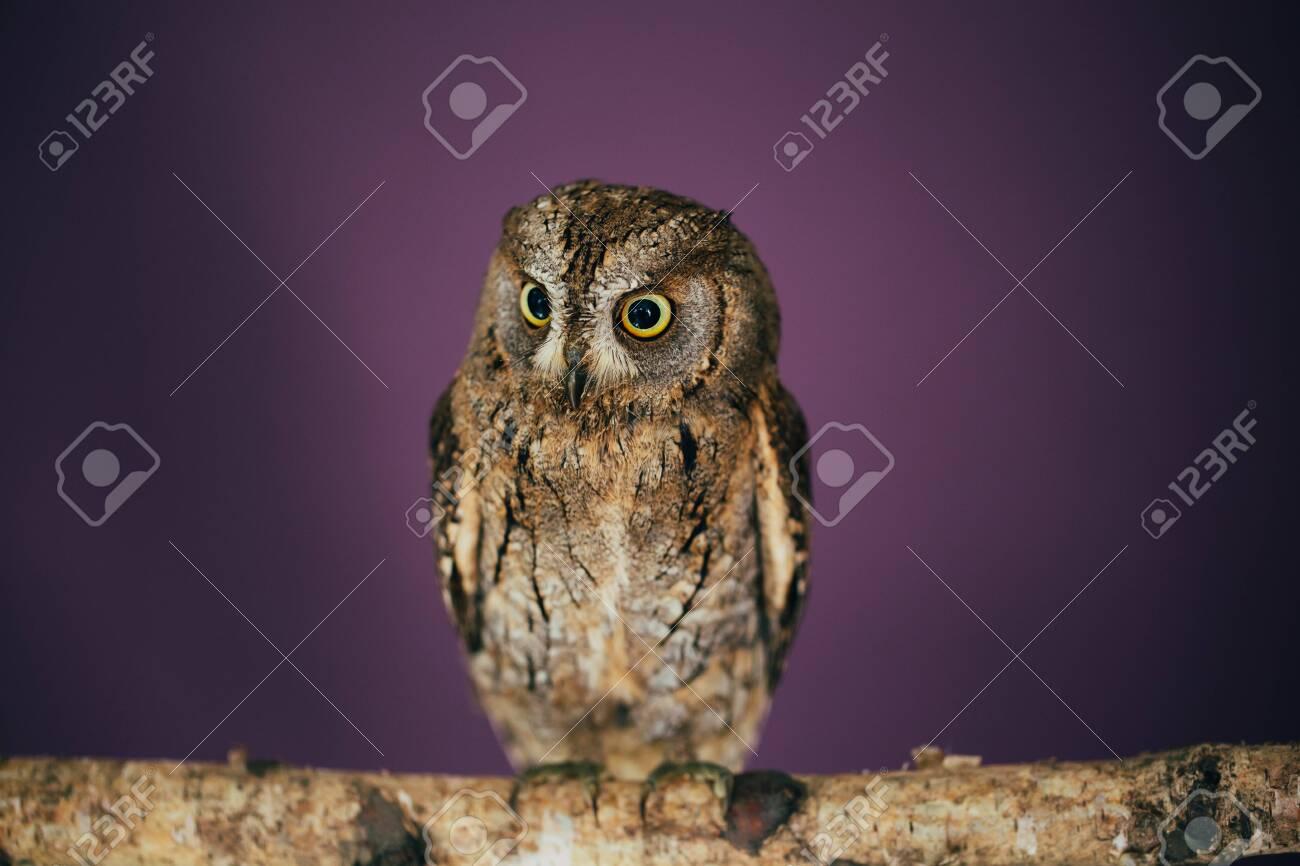 Eurasian scops owl in studio with purple background. - 123165875