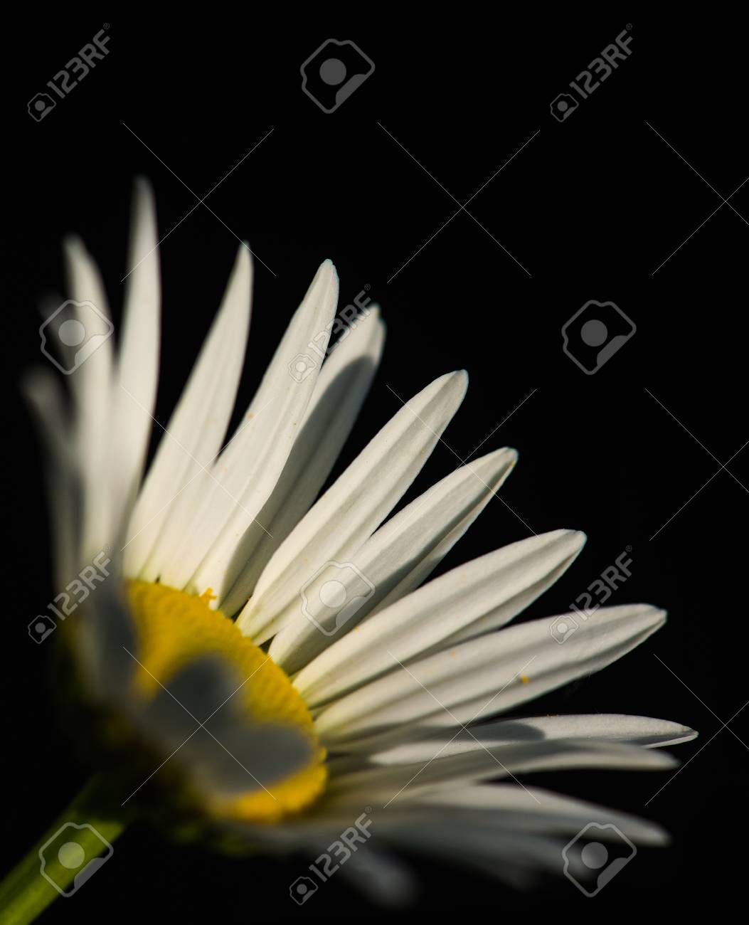 Fleur de camomiles floraison été - macro photographie gros plan Banque  d images - 61087714 b3d9e03077c