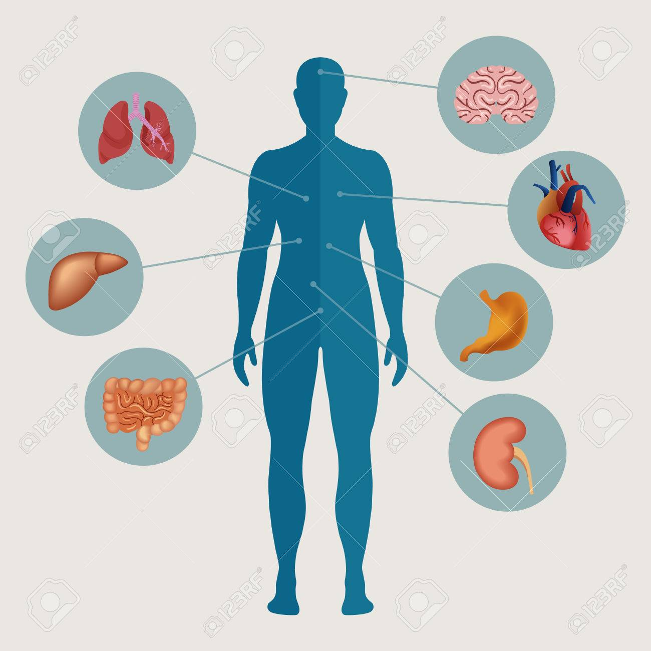 Excepcional Diagrama De órganos Internos Del Cuerpo Humano Colección ...