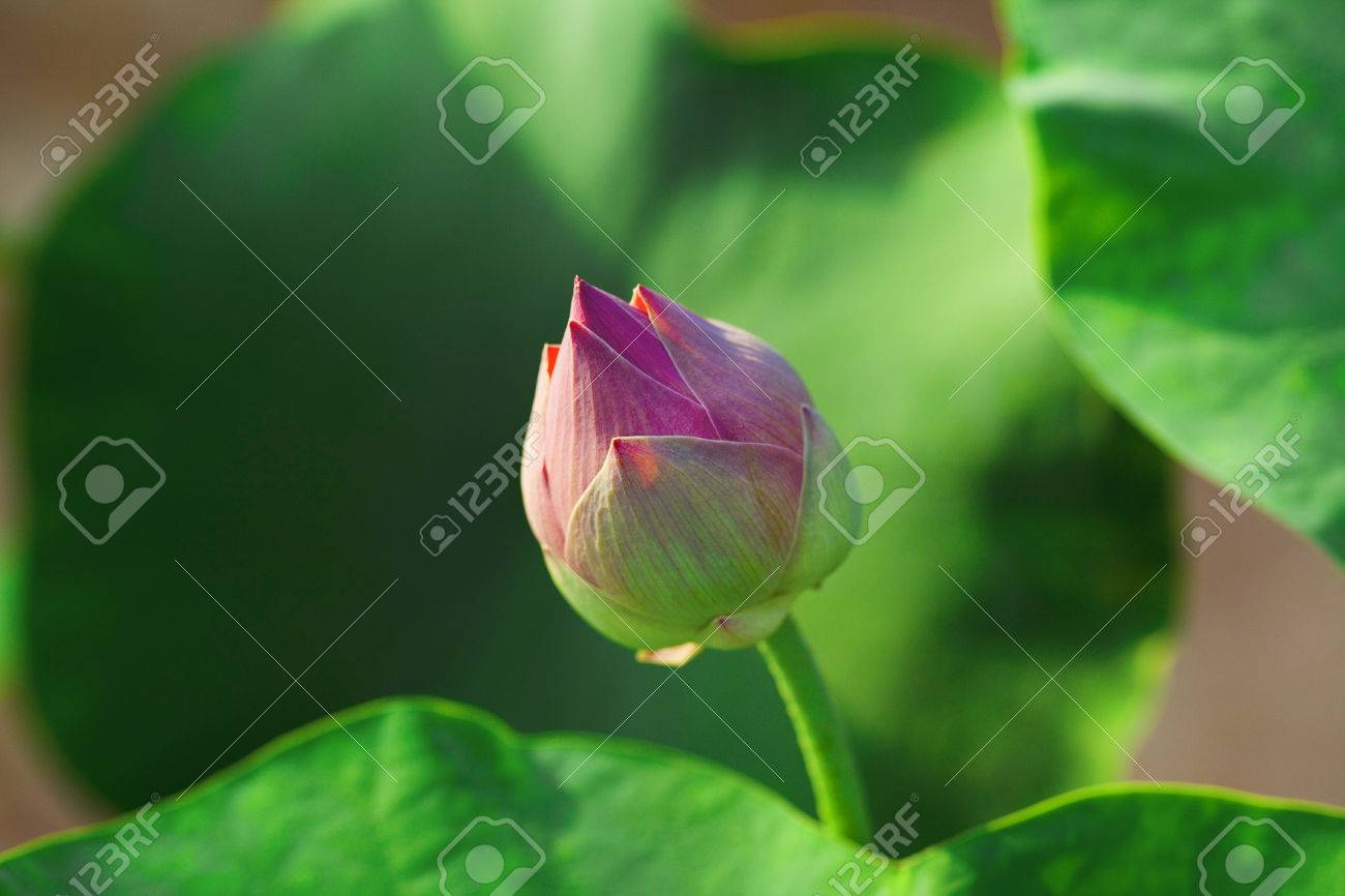 Lotus flower buds stock photo picture and royalty free image image lotus flower buds stock photo 53375227 mightylinksfo
