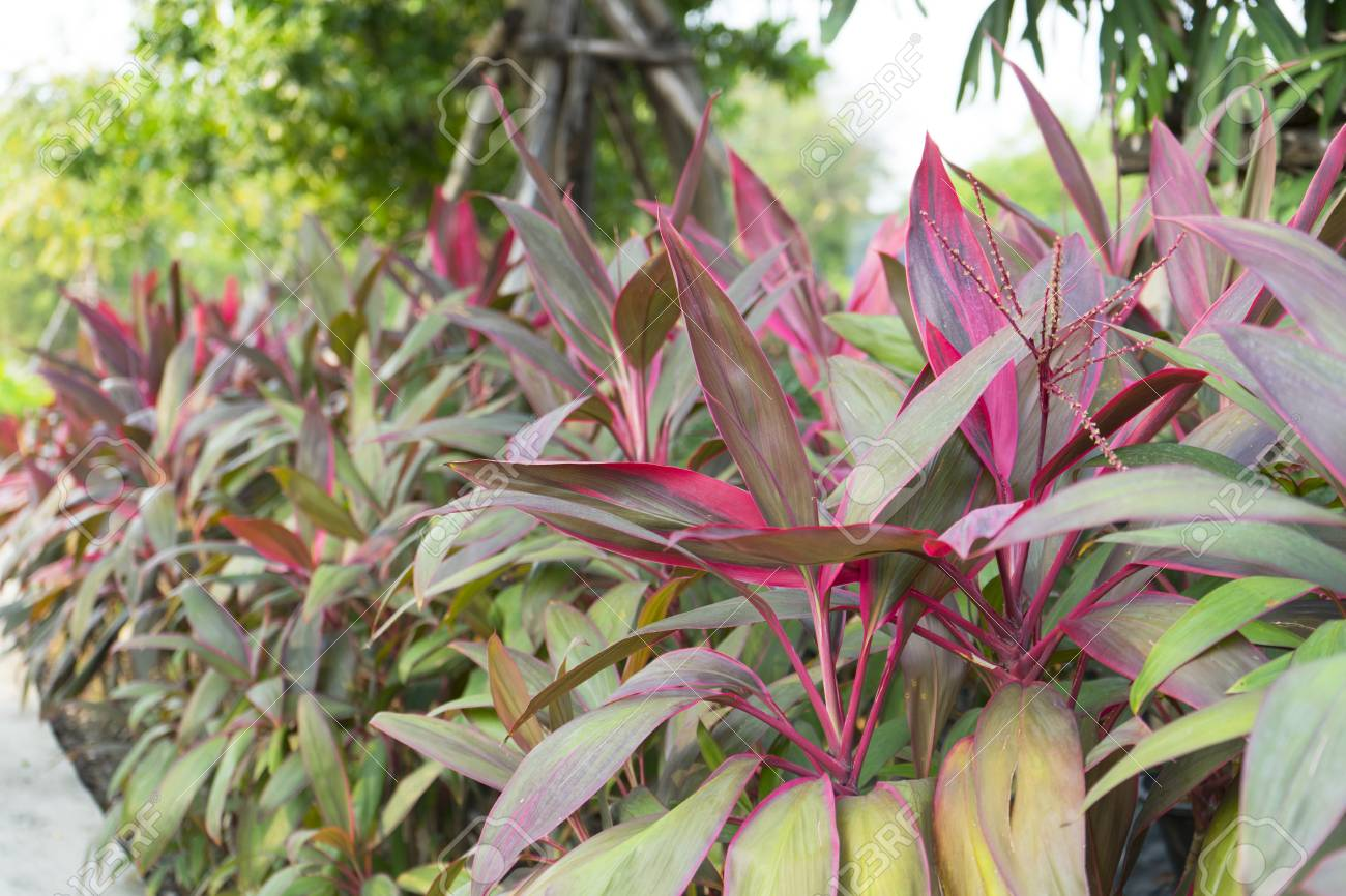 red and green leaf plant of Cordyline fruticosa in garden