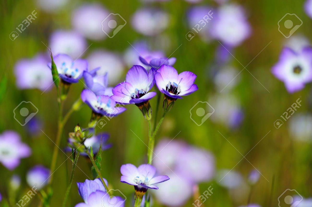 A hardy annual flower that is native to the western united states a hardy annual flower that is native to the western united states the elegant trumpet izmirmasajfo