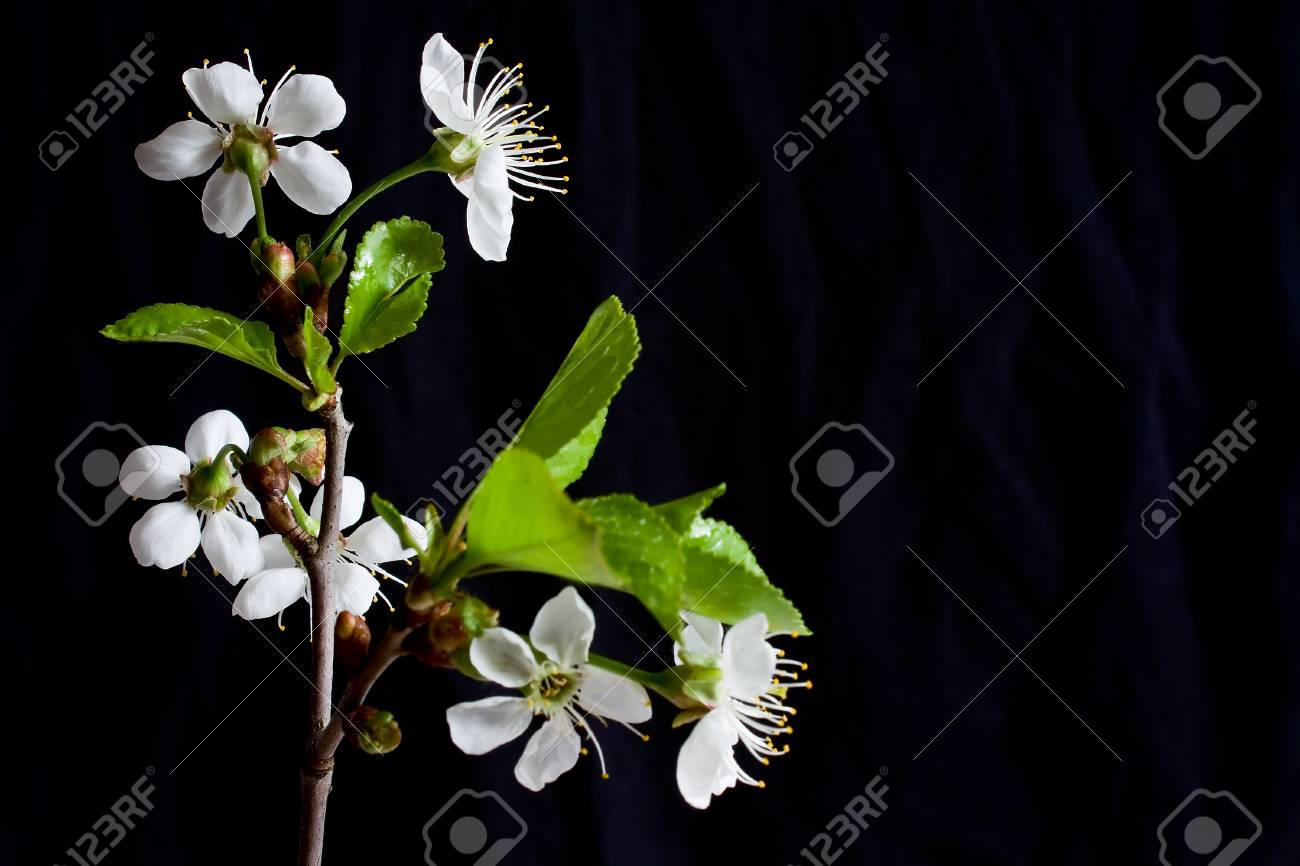 Beautiful flowers blooming cherry on a black background Stock Photo - 7028091