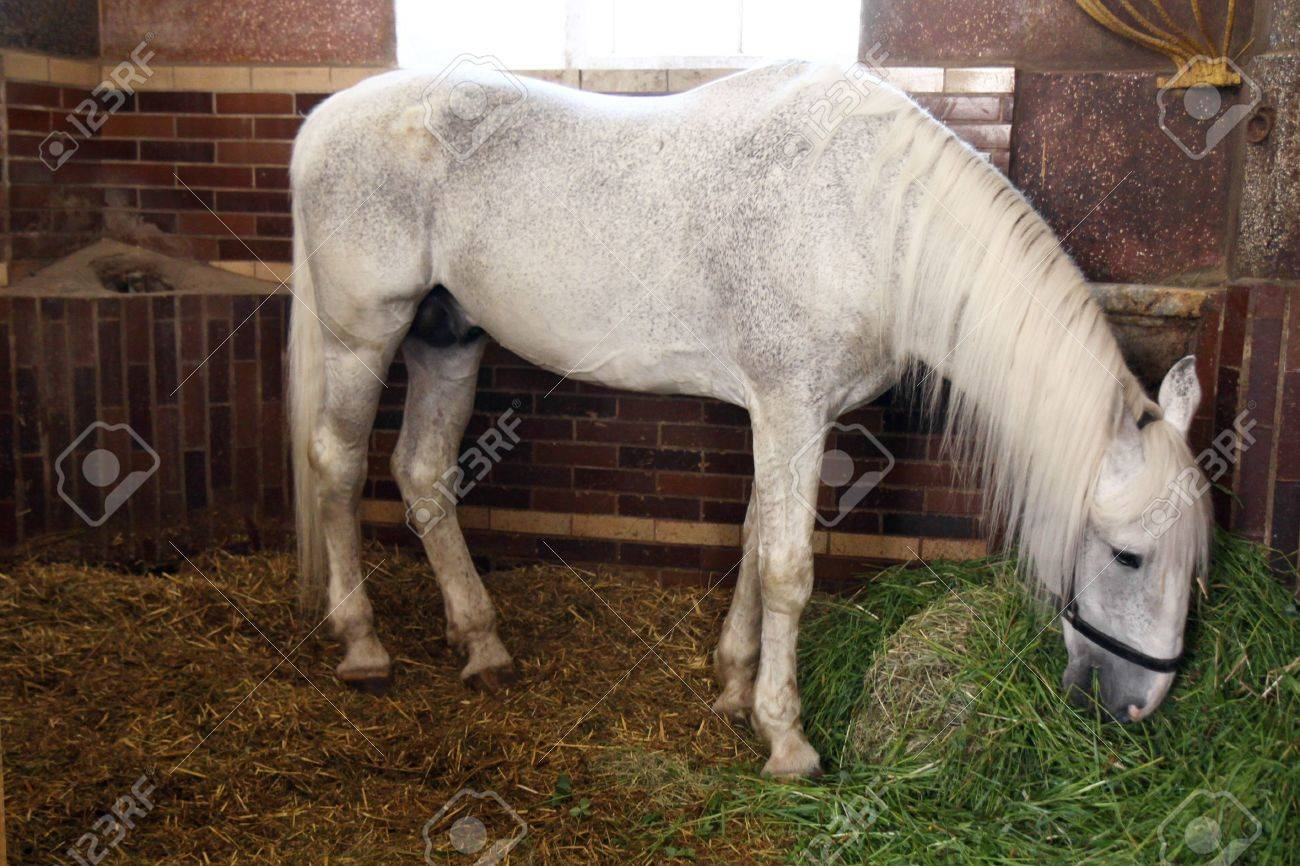 Fodder White Horses In Stable Stock Photo Picture And Royalty Free Image Image 6530063