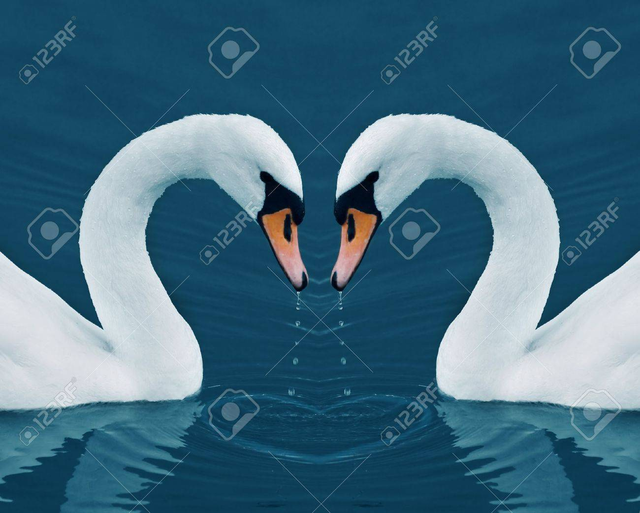 Two swans with drops in the Calm Morning Lake - Valentine image with heart Stock Photo - 8753143