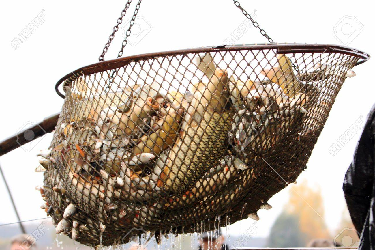Autumn harvest of carps from fishpond to christmas markets in Czech republic. Stock Photo - 16298408