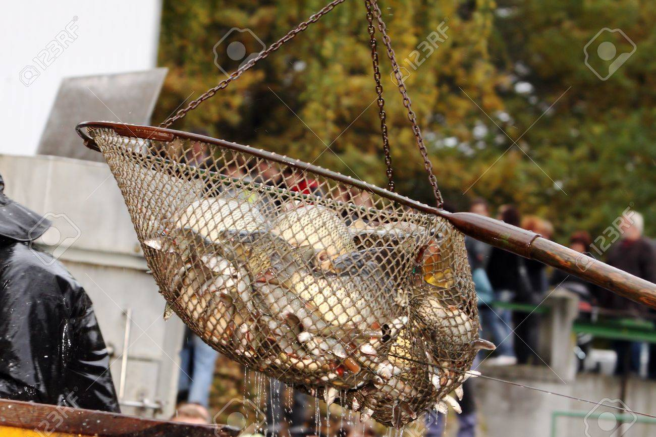 Autumn harvest of carps from fishpond to christmas markets in Czech republic. In Central Europe fish is a traditional part of a Christmas Eve dinner. Stock Photo - 16298414