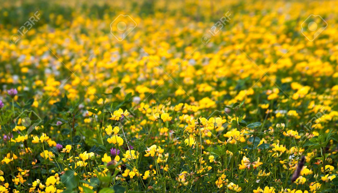 Detail Of Yellow Flowers On Meadow With Clover Stock Photo Picture