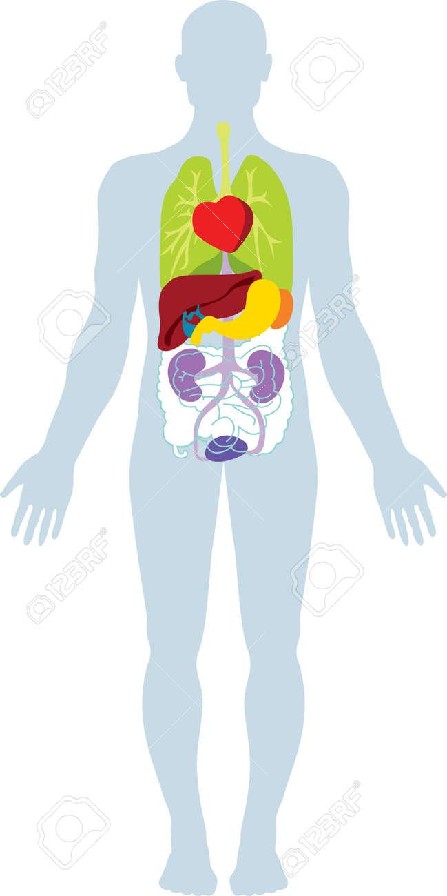 Human Internal Biological Organs. Royalty Free Cliparts, Vectors ...