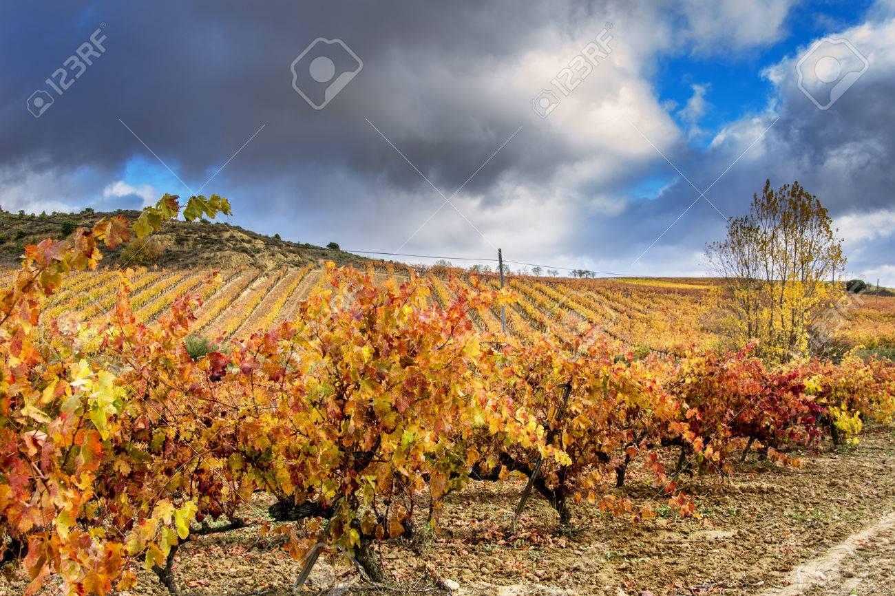 vineyards in autumn in La Rioja in Spain - 69782185