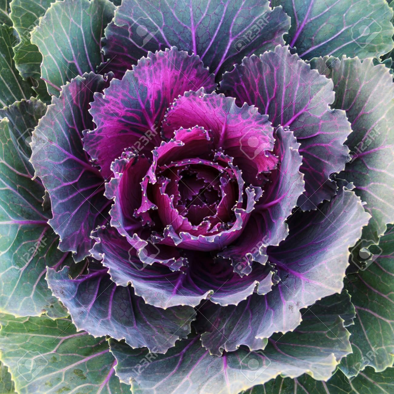 Fresh Purple Ornamental Decorative Cabbage Flower Ornamental