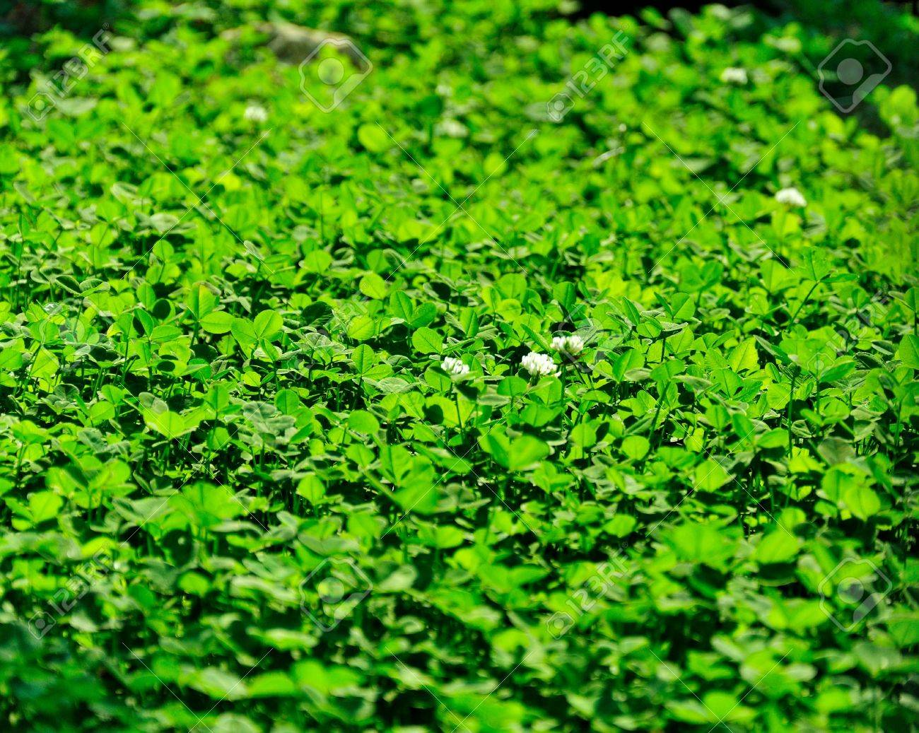 background - a flowering meadow clover, bathed in sunshine Stock Photo - 12066358