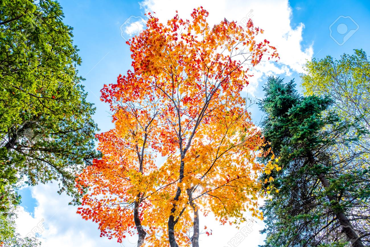 Maple Trees In Red And Orange Gold Pine Tree In Green Leaves