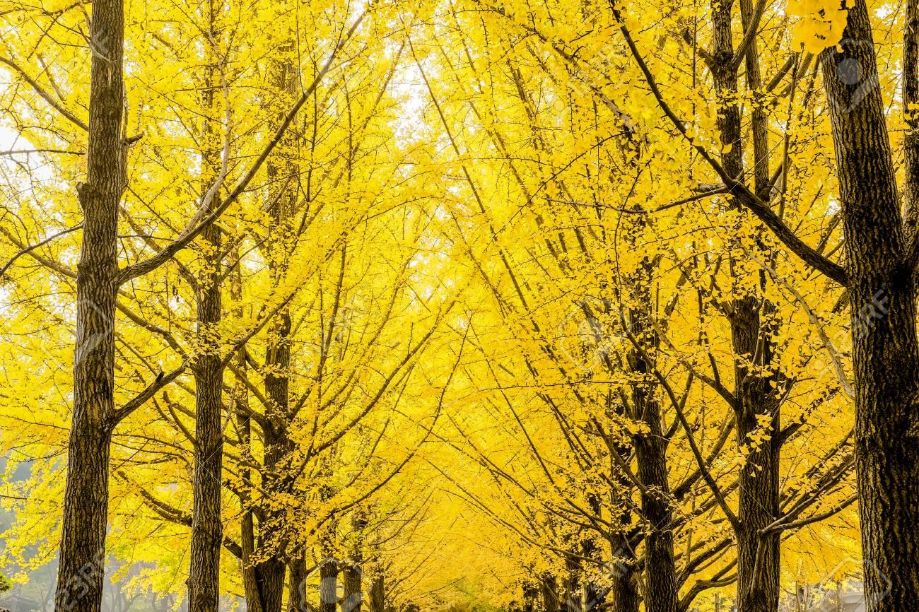 Row Of Yellow Ginkgo Biloba Tree Maidenhair Tree Leaves Of