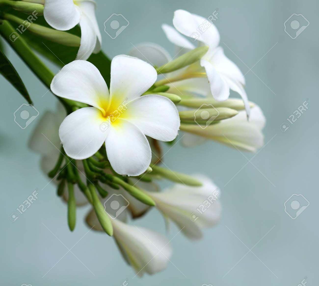 Frangipani flower Stock Photo - 11773151